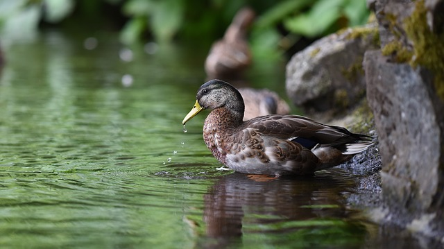 as a duck takes to water - water idioms