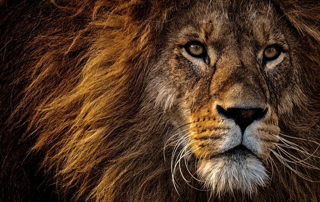 Lion Idioms