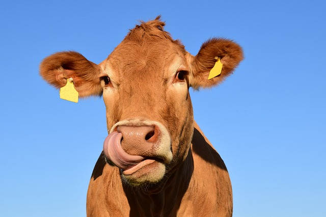 cow idioms