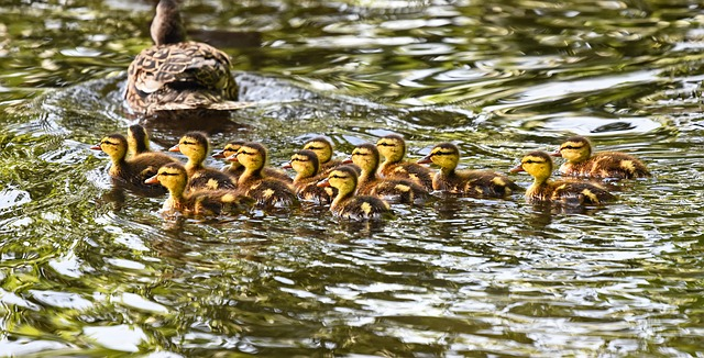 to have one's ducks in a row - duck idioms